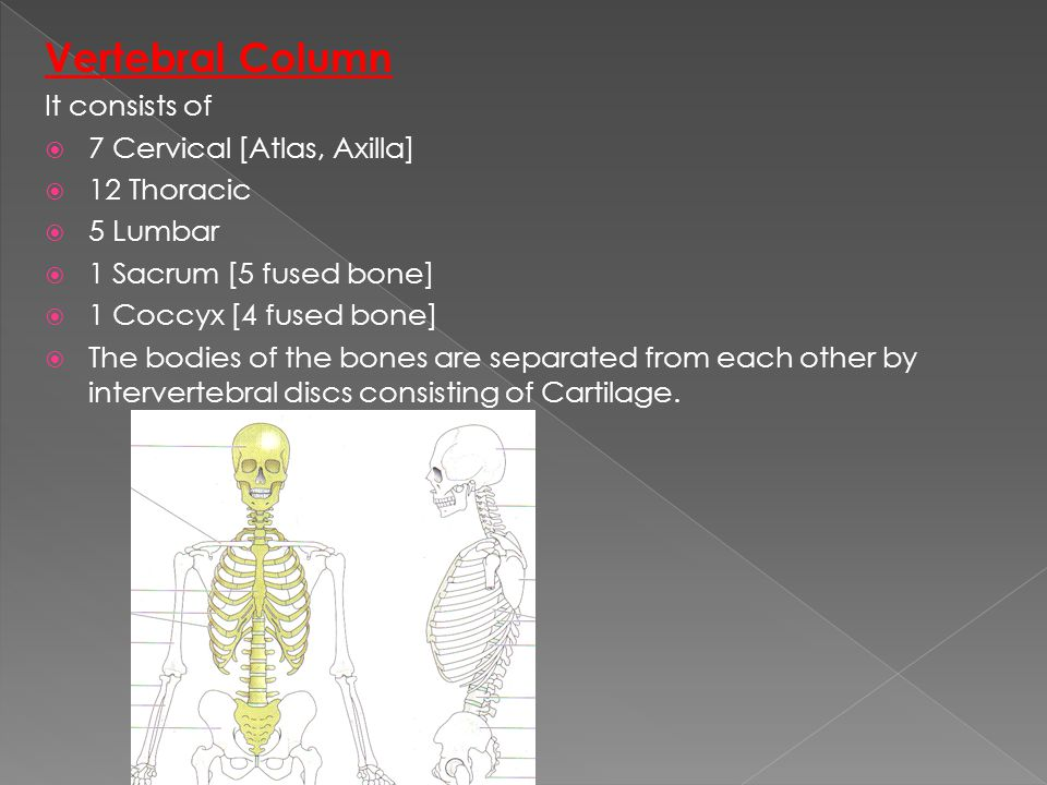 Vertebral Column It consists of 7 Cervical [Atlas, Axilla] 12 Thoracic